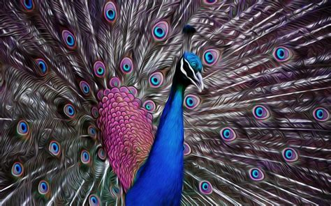 pfau fantasie peacock wallpaper hd widescreen pfau