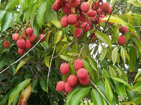 lychee fruit drawing lychee wikipedia