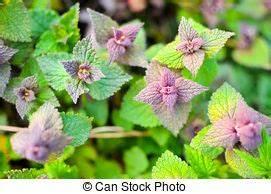 Pflanze Lila Blätter : lila nessel pflanze tot rosa gr n lila tot krautartig nessel unkraut blumen pflanze ~ Eleganceandgraceweddings.com Haus und Dekorationen