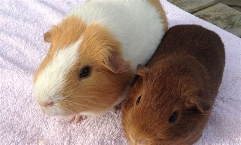 14 Different Types Of Guinea Pig Breeds