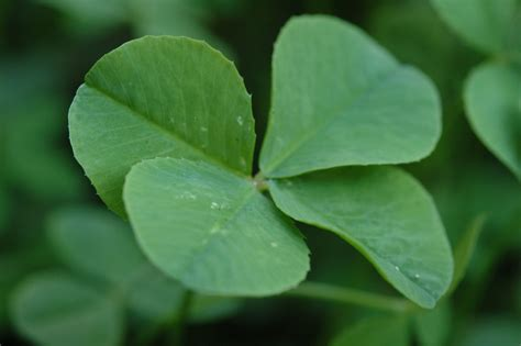 four leaf clover the science of shamrocks what s so lucky about a four leaf clover news ok