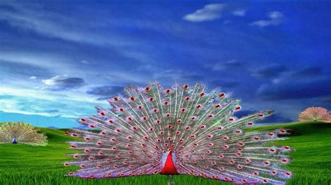 Peacock Images Wallpapers (48 Wallpapers)  Hd Wallpapers