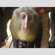 Meet Lesula, Congo's Colourful New Species Of Monkey  Nature  The Earth Times