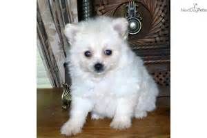 meet mollie a cute malti poo maltipoo puppy for sale for