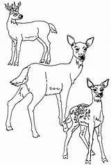 Deer Coloring Pages Tailed Printable sketch template