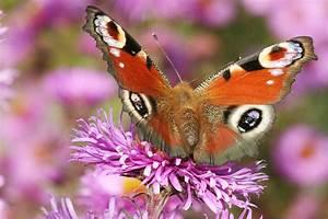 Schmetterlinge überwintern Helfen : insekten die im haus berwintern ~ Frokenaadalensverden.com Haus und Dekorationen