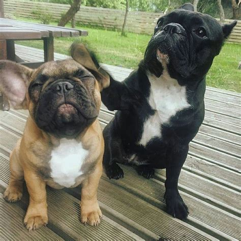 images  french bulldogs  pinterest blue