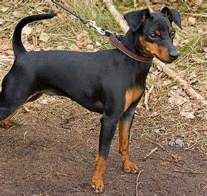 do miniature doberman pinschers shed miniature pinscher pawbase australia