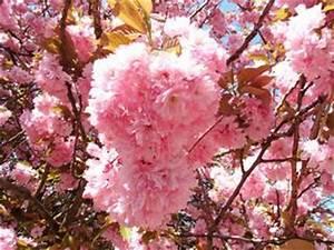 Rosa Blühender Baum Im Frühling : 4teachers lehrproben unterrichtsentw rfe und ~ Lizthompson.info Haus und Dekorationen