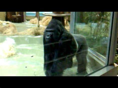 angry silverback gorilla  berlin zoo youtube