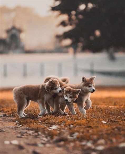 Golden Retriever Wallpaper Aesthetic Lock Screen Puppies by Wallpaper