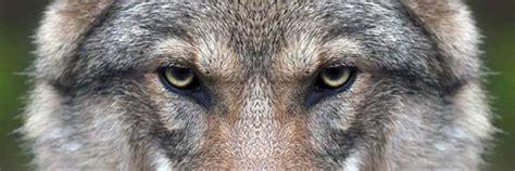 le loupe de bureau le loup fascine la vérité derrière mythes et légendes