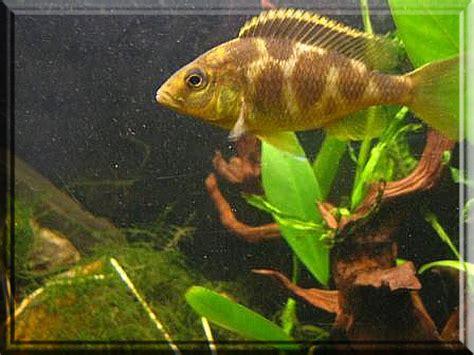 aquarium ab wann fische einsetzen der giraffenbuntbarsch nimbochromis venustus