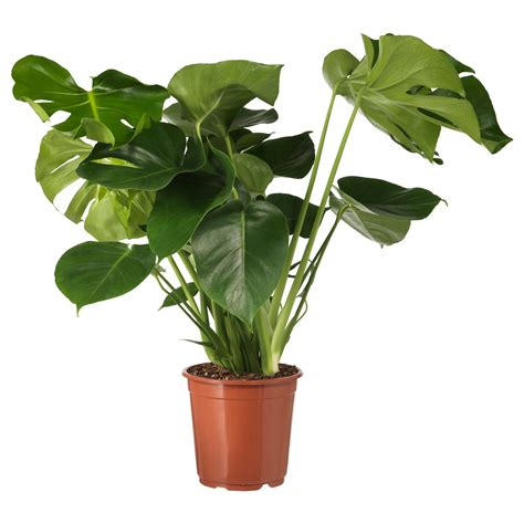 stands ikea monstera potted plant swiss cheese plant 21 cm ikea