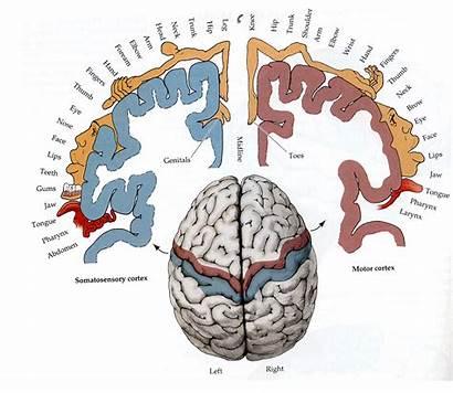 Brain Map Anatomy Studyblue источник Gross