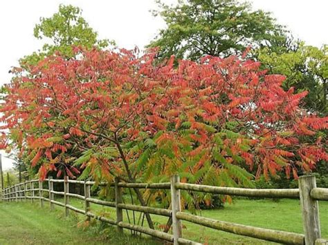 sumac trees sumac tree in fall flowers pinterest