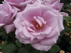 Mainzer Fastnacht Rose : adr rosen gesunde rosen mademoiselle magic meideiland maigold mainzer fastnacht manita ~ Orissabook.com Haus und Dekorationen