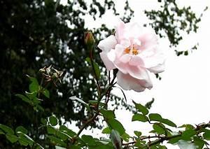 Kletterrose New Dawn : new dawn kletterrosen kaskade aus zartrosa bl ten ~ Michelbontemps.com Haus und Dekorationen