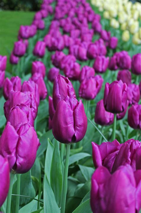 tulip purple prince quality flower bulbs youtulipcouk