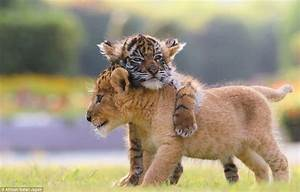 Cute Tiger and Lion Cubs Playing | LuvBat