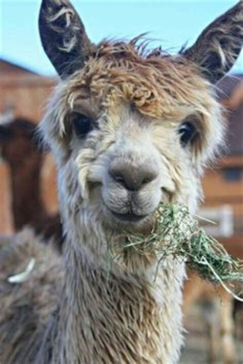 llama smiling 1000 images about llama on pinterest llamas llama costume and shaved llama