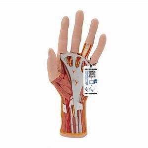 Internal Hand Structure Model  3 Part - 1000349