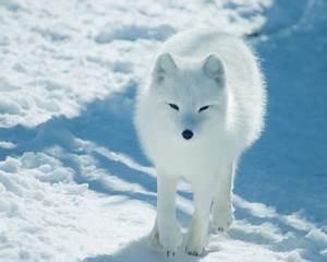 Tundra Ecosystem Threatened Species Tundra Ecosystem
