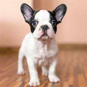 Hundebekleidung Französische Bulldogge : franz sische bulldogge ern hrung ~ Frokenaadalensverden.com Haus und Dekorationen