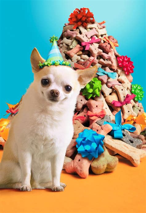 Chihuahua in Party Hat With Dog Bones Funny Birthday Card ...