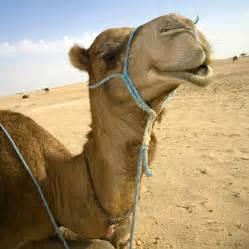 Photography_and_Design / Sahara_Camel