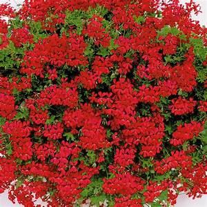 Welche Bäume Blühen Jetzt : echte tiroler h nge geranien tiroler feuer online kaufen bei ahrens sieberz garden flowers ~ Buech-reservation.com Haus und Dekorationen