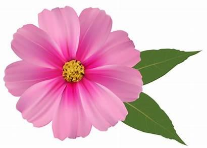 Flower Flowers Pink Clipart Transparent Daisy Clip