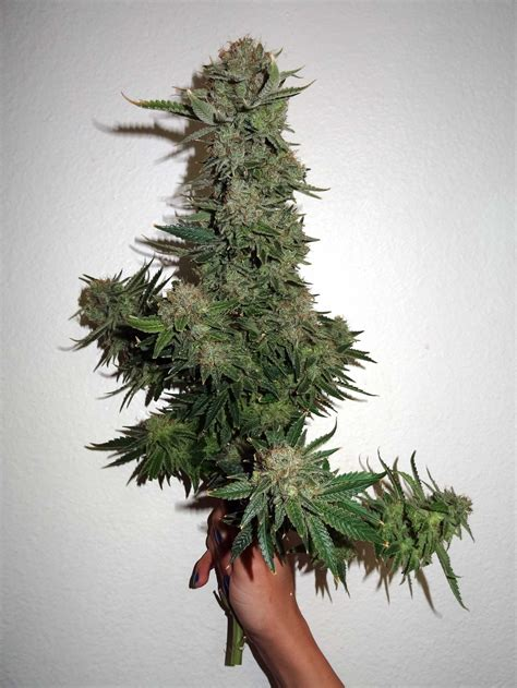 height of plant what is the optimum final height for cannabis plants grow weed easy