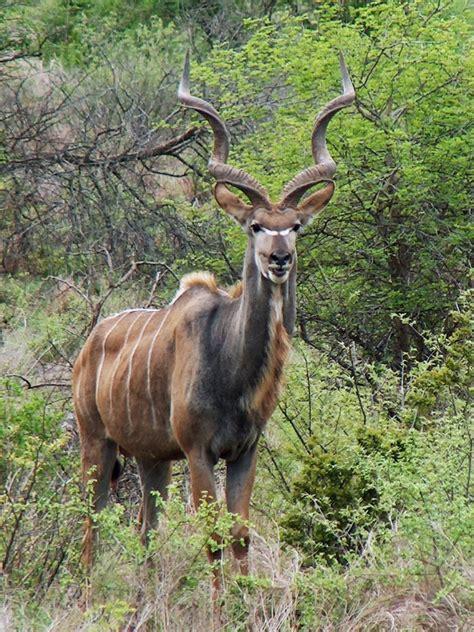 kudu wiktionary