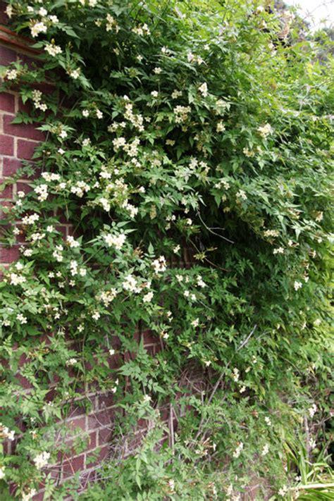 jasminum clotted cream cc plants