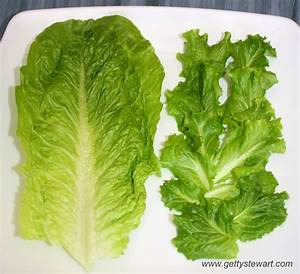 How to Regrow Romaine Lettuce from the Stem - GettyStewart.com
