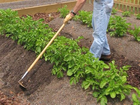 how to potatoes from garden how to grow potatoes how tos diy
