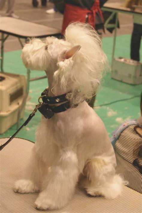 rock star schnauzer  grooming dog pinterest rock