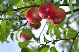 Red Apples On An Apple