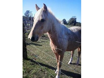 Palomino Horse Quarter Gelding Jackson Horses