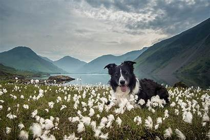 Border Collie Meadow Dogs Dog Mountains Animals