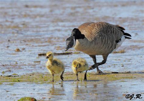 canada goose habitat niche