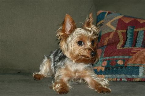 do yorkies shed terrier pictures 8 free wallpaper