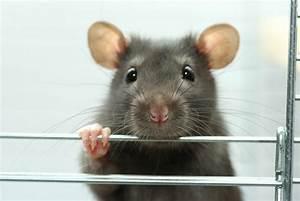 Unterschied Maus Ratte : ratte oder maus wer weiss ~ Lizthompson.info Haus und Dekorationen