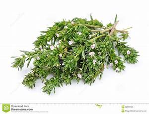 Thyme Fresh Herb Royalty Free Stock Photos - Image: 32443708