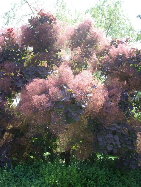 smoke tree plantfiles pictures smoke tree cooke s purple smoke tree cotinus coggygria by lehua mc