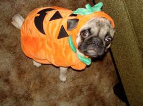 Pug Pumpkin Stencil by 35 Sad Pugs In Costumes Damn Cool Pictures