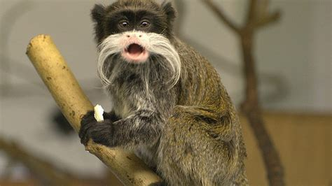 Why are monkeys' faces all so bizarrely different?