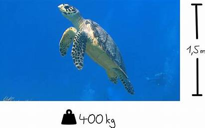 Turtle Sea Facts Turtles Animals Move Impact