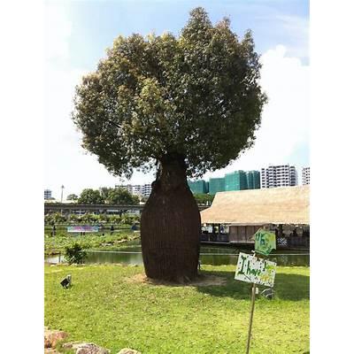 Bottle Tree or Adansonia gregorii by Cheejyg on DeviantArt